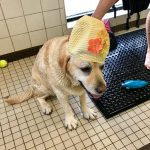 Swim Therapy for your Lab may be just what the Doctor Ordered